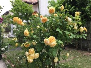 『薔薇(黄色)』の画像